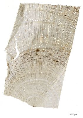 A specimen from Kew's microscope slide collection - transverse section of wood. Image ref: KMIC000781_2016.10.21-S3