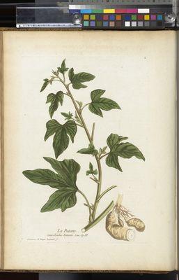 Convolvulus patatte, Ipomoea batatas