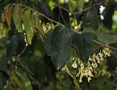 Hopea cordifolia