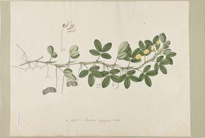 Arachis hypogea Willd., watercolour on paper