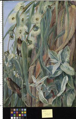 Foliage and Flowers of the Blue Gum,and Diamond Birds, Tasmania