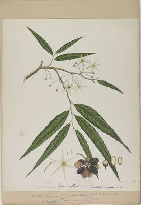 Uvaria longifolia Willd., watercolour on paper