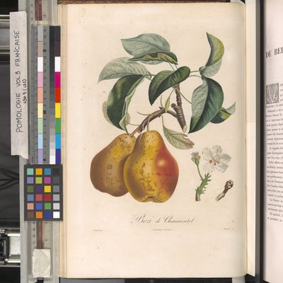 Bezi de Chaumontel, Poiteau, Pomologie française