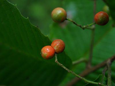 Meliosma myriantha var. pilosa