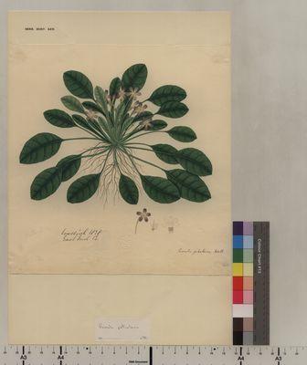 Primula petiolaris (60)