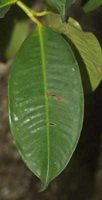 Garcinia mangostana