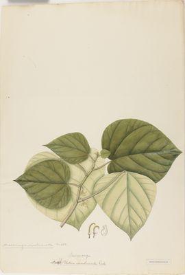 Urtica involucrata R., watercolour on paper