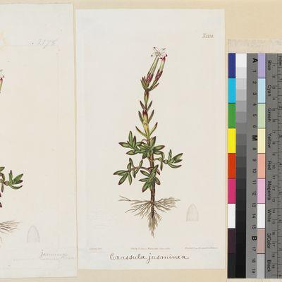 Crassula jasminea published illustration from Curtis's Botanical Magazine
