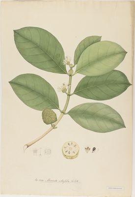 Morinda citrifolia Willd., watercolour on paper