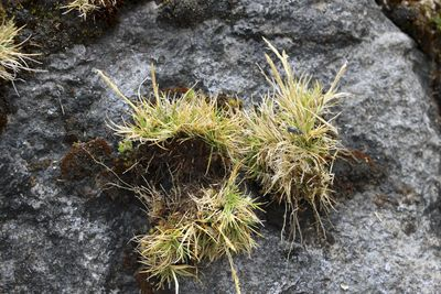 Agrostis breviculmis Hitchc.