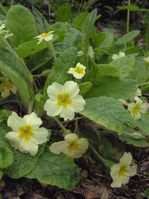 Primula vulgaris Huds.