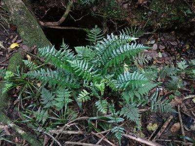Asplenium lamprophyllum