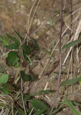 Acilepis thwaitesii