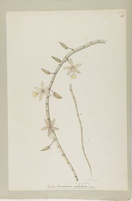 Cymbidium aphyllum Swartz., watercolour on paper