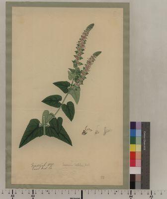 Teucrinum vestitum (88)