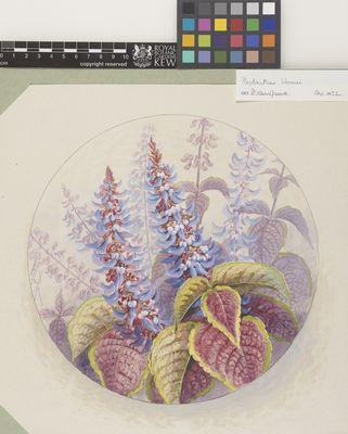 Plectranthus blumei
