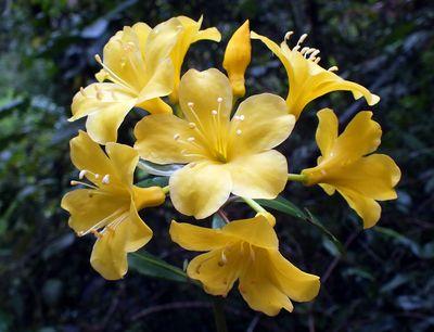 Rhododendron sessilifolium