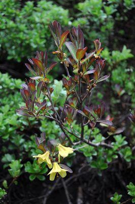 Rhododendron mekongense