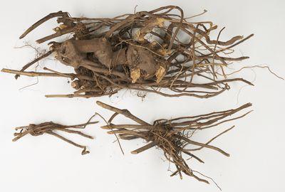 Piperaceae Piper sp root