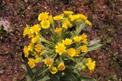 Tephroseris palustris