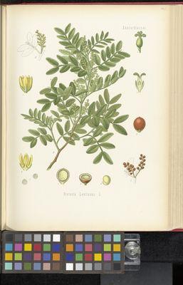 Pistacia lentiscus, Köhler