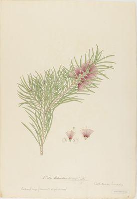 Metrosideros linearis Smith., watercolour on paper