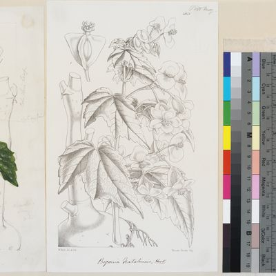 Begonia natalensis published illustration from Curtis's Botanical Magazine