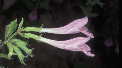 Clinopodium grandiflorum