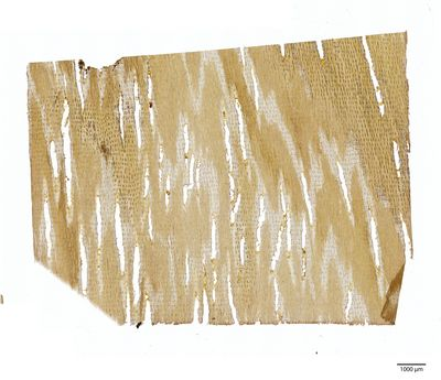 A specimen from Kew's microscope slide collection - tangential longitudinal section of wood. Image ref: KMIC000409_2016.07.01-S2