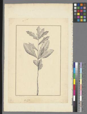 Quercus aquatica, pencil and ink on paper