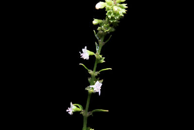 Scoparia dulcis