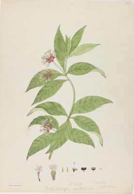 Ophioxylon serpentinum Willd., watercolour on paper
