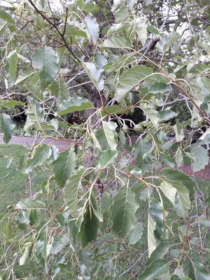 Alnus orientalis