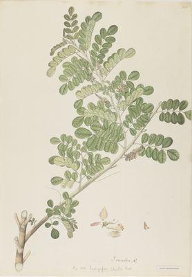 Indigofera coerulea Roxb., watercolour on paper