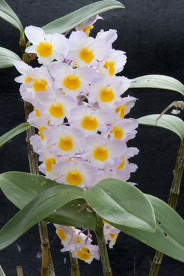 Dendrobium amabile (Lour.) O'Brien