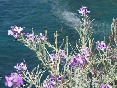Matthiola crassifolia Boiss. & Gaill.