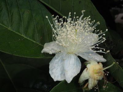 Myrtus apiculata