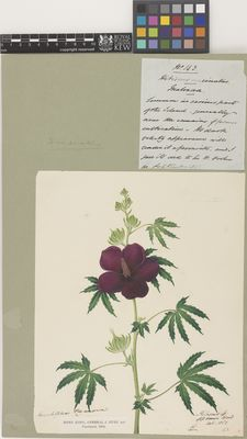 Hibiscus sp. (Hibiscus circinnatus)