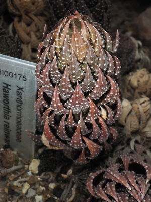 Haworthiopsis reinwardtii