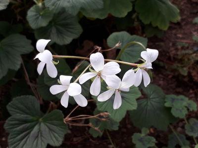 Pelargonium cucullatum subsp. tabulare