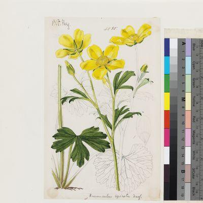 Ranunculus spicatus Desf. original illustration from Curtis's Botanical Magazine