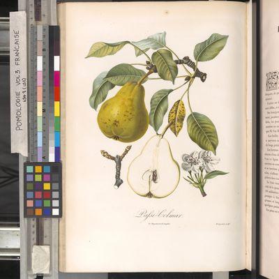 Passe-colmar pear, Poiteau, Pomologie française