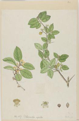 Flacourtia sapida Willd., watercolour on paper