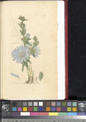 Cichorium intybus, James Sowerby