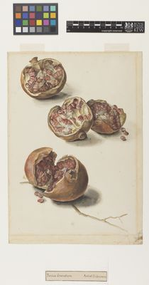 Pomegranate, unknown artist