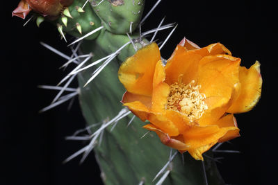 Opuntia lasiacantha