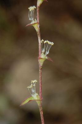Callisia repens (Jacq.) L.