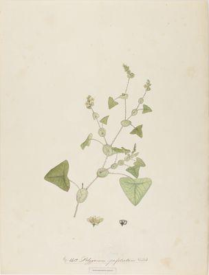 Polygonum perfoliatum Willd., watercolour on paper