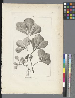 Quercus aquatica, uncoloured engraving on paper