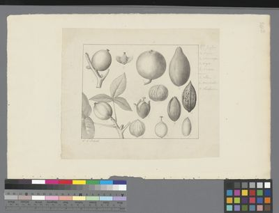 Juglans regia and other species, pencil and ink on paper